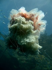 Agnes Milowka - Jellyfish at Eaglehawk Neck